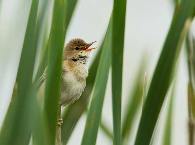 Reed Warbler at Rhos-on-Sea Golf Club